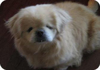 Pekingese Dog for adoption in Oakdale, Tennessee - Abby Rose