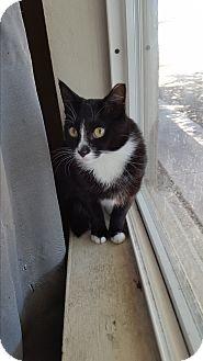 Domestic Mediumhair Cat for adoption in Scottsdale, Arizona - Krista's cat