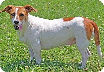 Beagle/Terrier (Unknown Type, Medium) Mix Dog for adoption in Savannah, Tennessee - Nema