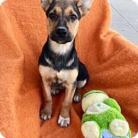 German Shepherd Dog Mix Puppy for adoption in Studio City, California - Harley