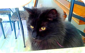 Domestic Mediumhair Cat for adoption in Vancouver, British Columbia - Opie