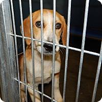Adopt A Pet :: Daisy (Foster) - Exton, PA
