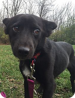 Border Collie/Dachshund Mix Dog for adoption in Richfield, Wisconsin - Gus, the Brave Dancer