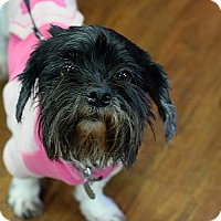Shih Tzu Mix Dog for adoption in Memphis, Tennessee - London