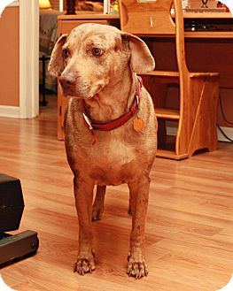 Catahoula Leopard Dog Dog for adoption in Warner Robins, Georgia - Remi