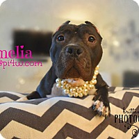 American Staffordshire Terrier Mix Dog for adoption in Cherry Hill, New Jersey - Amelia