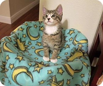 Domestic Shorthair Kitten for adoption in ROSENBERG, Texas - Miki
