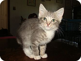 Domestic Shorthair Kitten for adoption in Spotsylvania, Virginia - Guinness