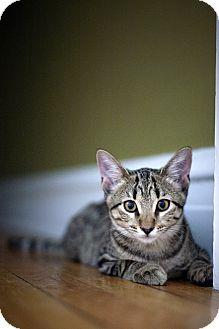 Domestic Shorthair Kitten for adoption in Chicago, Illinois - Hattie
