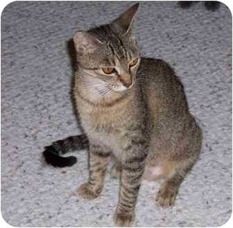 Domestic Shorthair Cat for adoption in Simms, Texas - Dana