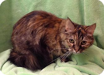 Maine Coon Cat for adoption in Bentonville, Arkansas - Mia