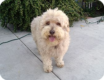 mini wheaten terrier teddy i do not shed adopted dog yorba linda ca 3333
