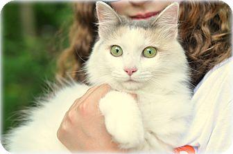 Turkish Angora Cat for adoption in Sparta, New Jersey - Lavender