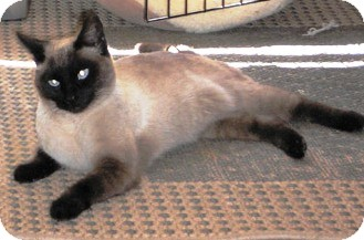 Siamese Cat for adoption in Chandler, Arizona - Mary Antoinette