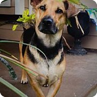 Adopt A Pet :: Pipster - Austin, TX