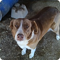 Australian Shepherd Mix Dog for adoption in Marion, North Carolina - Wyoming