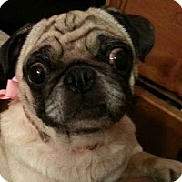 Pug Dog for adoption in Grapevine, Texas - Dazee Mae