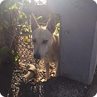 Adopt A Pet :: Sansa - Beverly Hills, CA