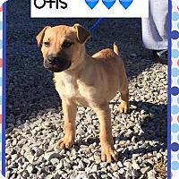 Adopt A Pet :: Otis (Pom) - Harrisonburg, VA