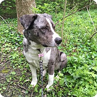 Adopt A Pet :: Moose - Joliet, IL
