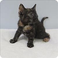 Domestic Shorthair Cat for adoption in Indiana, Pennsylvania - Nala