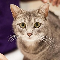 Domestic Shorthair Cat for adoption in Ft. Lauderdale, Florida - Mutt