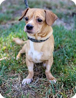 Dachshund/Chihuahua Mix Dog for adoption in San Diego, California - Stan
