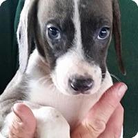 Adopt A Pet :: Bullseye - Gainesville, FL