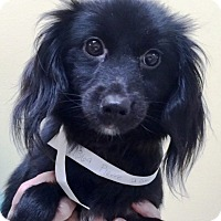 Adopt A Pet :: Perrier - Oswego, IL