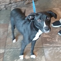 Labrador Retriever Mix Dog for adoption in Russellville, Kentucky - Harleigh