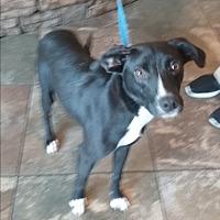 Adopt A Pet :: Harleigh - Russellville, KY