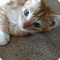 Domestic Shorthair Kitten for adoption in Columbus, Ohio - Robby