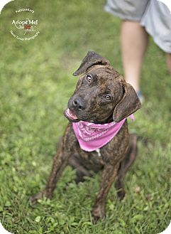 Patterdale Terrier (Fell Terrier)/Spitz (Unknown Type, Medium) Mix Puppy for adoption in Boston, Massachusetts - HoneyBun