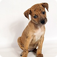 Adopt A Pet :: Sara CatahoulaMix - St. Louis, MO