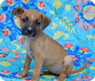Boxer/Retriever (Unknown Type) Mix Puppy for adoption in West Sand Lake, New York - Thena (6 lb) Video!