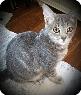 Domestic Shorthair Kitten for adoption in Fairborn, Ohio - Deseree