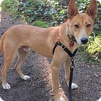 Jindo Mix Dog for adoption in Seattle, Washington - Tip - Gorgeous Jindo Boy
