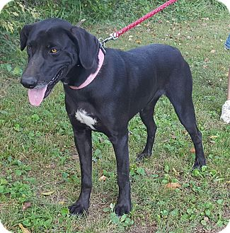 Doberman Pinscher/German Shorthaired Pointer Mix Dog for adoption in Somonauk, Illinois - Molly