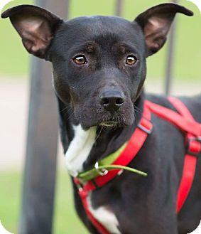 Pit Bull Terrier Mix Dog for adoption in Manhattan, Kansas - Topaz