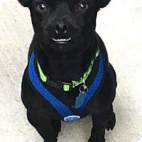 """Adopt A Pet :: """"Chuggy"""" - Seattle, WA"""