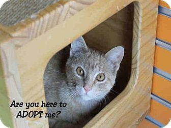 Domestic Mediumhair Cat for adoption in Decatur, Illinois - ZACK