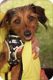 Yorkie, Yorkshire Terrier Mix Dog for adoption in Davie, Florida - Zip