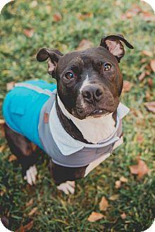Pit Bull Terrier/Boston Terrier Mix Dog for adoption in Salt Lake City, Utah - Wyn