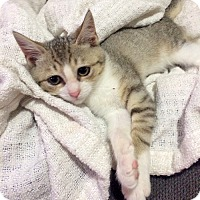Adopt A Pet :: Sheila the Perfect Kitten - Brooklyn, NY