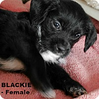 Adopt A Pet :: Blackie - Walnut Creek, CA