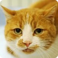Adopt A Pet :: Samson - Medford, MA