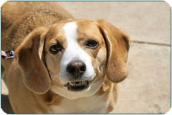 Beagle Mix Dog for adoption in Elmwood Park, New Jersey - Theta
