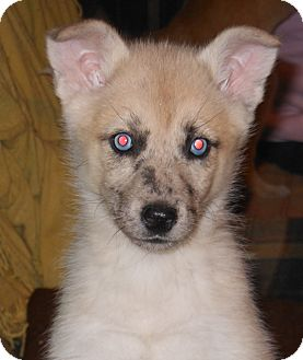 marilyn adopted puppy morgantown wv australian shepherd husky mix. Black Bedroom Furniture Sets. Home Design Ideas
