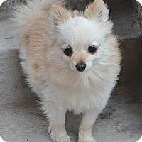 Adopt A Pet :: Wacha - Bridgeton, MO