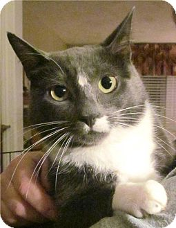 Domestic Shorthair Cat for adoption in Plainville, Massachusetts - Ms M
